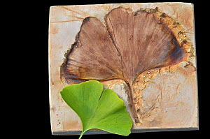 Maidenhair / Ginkgo tree (Ginkgo biloba) Plaster cast of fossil with moden day leaf from tree. Fossil is Eocene, from Kamloops, British Columbia, Canada. - Adrian Davies