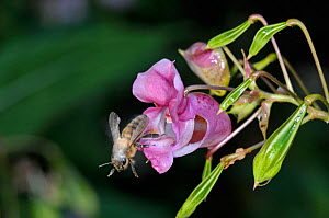 Honey bee (Apis mellifera) leaving flower of  Himalayan balsam (Impatiens glandulifera) with pollen on its back and wings, Surrey, UK, August  -  Adrian Davies
