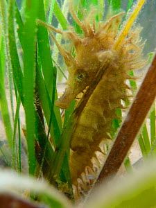 Spiny / Yellow Seahorse (Hippocampus guttulatus). Studland Bay, Dorset, UK, September.  -  Dan Burton