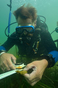 Neil Garrick-Maidment from the Seahorse Trust tagging a Spiny / Yellow Seahorse (Hippocampus guttulatus). Studland Bay, Dorset, UK, September 2011.  -  Dan Burton