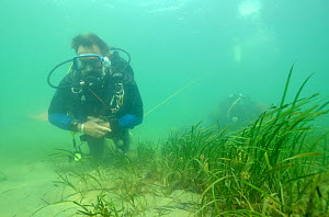 Neil Garrick-Maidment from the Seahorse Trust looking for seahorses to study. Studland Bay, Dorset, UK, September.  -  Dan Burton