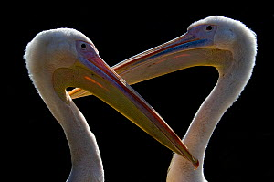 RF- Two Eastern / Great white pelicans (Pelecanus onocrotalus) captive. (This image may be licensed either as rights managed or royalty free.)  -  Edwin  Giesbers
