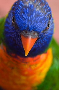 RF- Rainbow lorikeet (Trichoglossus haematodus) head portrait, captive. (This image may be licensed either as rights managed or royalty free.)  -  Edwin  Giesbers
