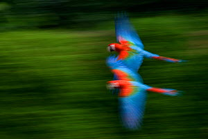 Two Scarlet macaws (Ara macao) flying, captive  -  Edwin Giesbers