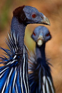 Vulturine guineafowl (Acryllium vulturinum) portrait, another blurred in the background, captive - Edwin Giesbers
