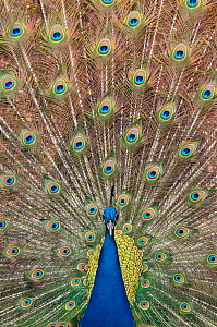 Male Indian peafowl (Pavo cristatus) displaying, captive Not available for ringtone/wallpaper use.  -  Edwin Giesbers