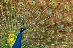 RF- Male Indian peafowl (Pavo cristatus) displaying, captive. (This image may be licensed either as rights managed or royalty free.)  -  Edwin  Giesbers