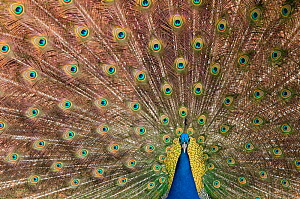 Male Indian peafowl (Pavo cristatus) displaying, captive  -  Edwin Giesbers
