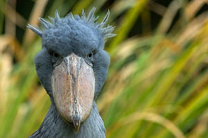 Shoebill / Whale headed stork (Balaeniceps rex) head portrait, captive  -  Edwin Giesbers