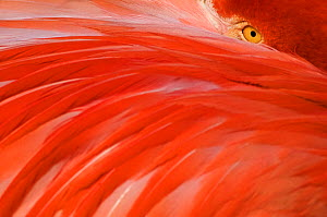 Greater flamingo (Phoenicopterus ruber) head sticking out from behind wing, captive - Edwin Giesbers