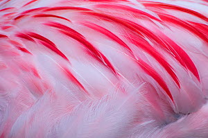 Greater flamingo (Phoenicopterus ruber) close-up of back, captive - Edwin Giesbers