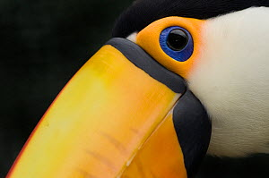RF- Toco toucan (Ramphastos toco) head close-up, captive. (This image may be licensed either as rights managed or royalty free.)  -  Edwin  Giesbers