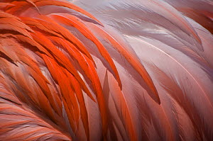 Greater flamingo (Phoenicopterus ruber) feathers on back, captive - Edwin Giesbers