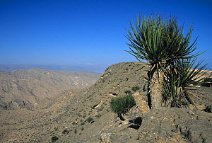 Dragon's blood tree (Dracaena serrulata) at high elevation in Dhofar Mountains, Oman, January  -  Hanne & Jens Eriksen