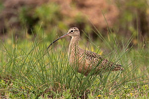 Long billed curlew (Numenius americanus) Texas, USA, January  -  Hanne & Jens Eriksen