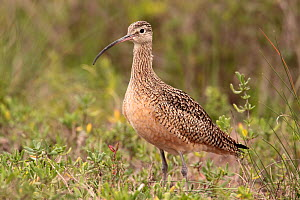 Long billed curlew (Numenius americanus) portrait, Texas, USA, January  -  Hanne & Jens Eriksen
