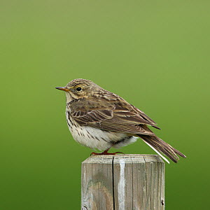 Meadow pipit (Anthus pratensis) perched on post, Iceland, June  -  Hanne & Jens Eriksen