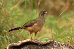 Plain chachalaca (Ortalis vetula) standing on piece of wood, Texas, USA, January  -  Hanne & Jens Eriksen