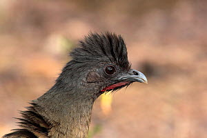 Plain chachalaca (Ortalis vetula) head portrait, Texas, USA, January  -  Hanne & Jens Eriksen