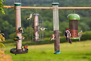 Wide variety of birds at garden bird feeder, Great spotted woodpecker (Dendrocopos major), Goldfinch (Carduelis carduelis), Great tit (Parus major), Blue tit (Parus caeruleus), Chaffinch (Fringilla co...  -  Stephen Dalton