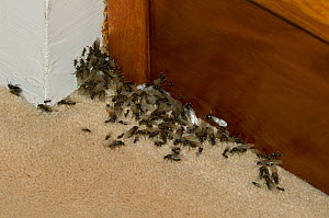 Garden black ant (Lasius niger) infestation in house, UK  -  Stephen Dalton
