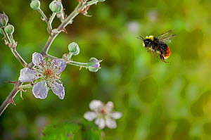 Early bumblebee (Bombus pratorum) flying to bramble flowers, UK - Stephen Dalton