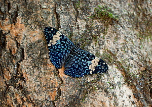 Red cracker butterfly (Hamadryas amphinome) on tree bark, captive, from central and south america  -  Stephen Dalton