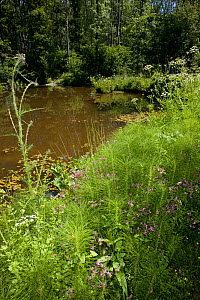 Rookery Pond, Weald of Sussex, UK, June 2011 - note Ragged robin, Horse-tail, Water dropwort, Marsh thistle, Buttercup and Speedwell, and Blue damselflies,  -  Stephen Dalton