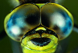 Compound eyes of Southern hawker dragonfly (Aeshna cyanea) UK - Stephen Dalton