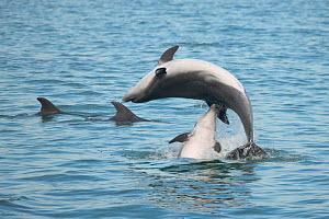 Bottlenose dolphins (Tursiops truncatus) leaping in mating rituals, Sado Estuary, Portugal, October - Pedro Narra