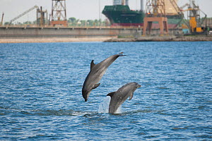 Two Bottlenose dolphins (Tursiops truncatus) jumping close the industrial area in the north chanel of the river Sado, Sado Estuary, Portugal, May  -  Pedro Narra