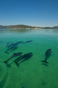 A pod of Bottlenose dolphins (Tursiops truncatus) swimming into the Sado river, Portugal, July  -  Pedro Narra