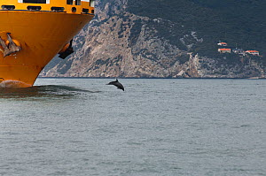 Bottlenose dolphin (Tursiops truncatus) leaping in front of a cargo ship, Sado Estuary, Portugal, September  -  Pedro Narra