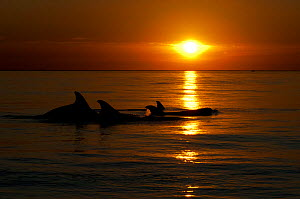 A pod of Bottlenose dolphins (Tursiops truncatus) porpoising, silhouetted at sunset, Sado Estuary, Portugal, November  -  Pedro Narra