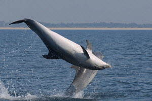 Bottlenose dolphins (Tursiops truncatus) leaping during mating ritual, Sado Estuary, Portugal, October  -  Pedro Narra