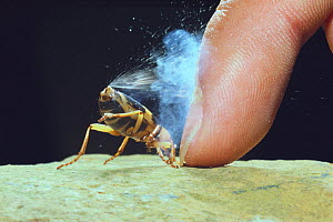 Bombardier Beetle (Pheropsophus jessoensis) protecting itself by ejecting a boiling, noxious chemical spray, Nagasaki, Japan. - Nature Production