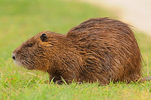 Coypu (Myocastor coypus) France - Dave Watts