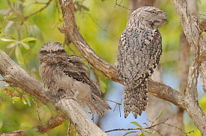 Tawny frogmouth (Podargus strigoides) adult with large chick, Queensland, Australia  -  Dave Watts