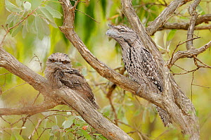 Tawny frogmouth (Podargus strigoides) adult with large chick in tree, Queensland, Australia  -  Dave Watts