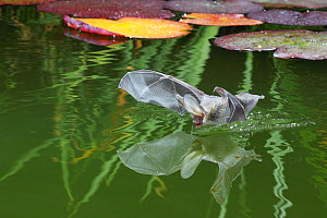 Brown Long-eared bat (Plecotus auritus) drinking from a lily pond , Surrey, UK. Overall WINNER of the Audubon Society of Greater Denver  �Share the View� competition 2011  -  Kim Taylor