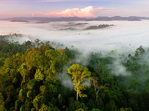 Mist and low cloud hanging over lowland rainforest, just after sunrise, with Menggaris Tree (Koompassia excelsa) prominent in the foreground. Danum Valley, Sabah, Borneo. - Nick Garbutt