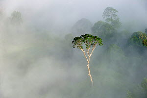 Emergent Menggaris Tree / Tualang (Koompassia excelsa) protruding from mist and low cloud hanging over lowland rainforest. Danum Valley, Sabah, Borneo.  -  Nick Garbutt