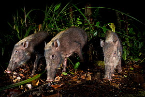 Bearded Pigs (Sus barbatus) foraging on forest floor. Near Nepenthes Field Camp, mid-altitude montane forest, Sabah's 'Lost World', Borneo.  -  Nick Garbutt