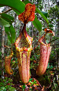 Large aerial pitchers of natural hybrid Pitcher Plant (Nepenthes stenophylla x Nepenthes veitchi). Montane mossy heath forest or 'kerangas', southern plateau, Maliau Basin, Sabah's 'Lost World', Borne...  -  Nick Garbutt