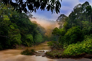 Dawn over the Segama River, with mist hanging over lowland rainforest. Heart of Danum Valley, Sabah, Borneo.  -  Nick Garbutt
