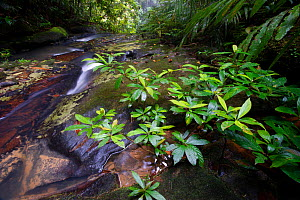 Side channel overflow at the top of Upper Ginseng Falls on a tributary of the Maliau River. Centre of Maliau Basin, Sabah's 'Lost World', Borneo.  -  Nick Garbutt