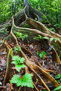 Buttress roots of Shorea sp. within lowland rainforest. Danum Valley, Sabah, Borneo.  -  Nick Garbutt