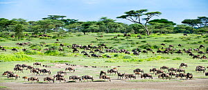 Herd of White-bearded Wildebeest (Connochaetes taurinus albojubatus) with calves in Long Gully near Ndutu on their annual migration. Ngorongoro Conservation Area, Serengeti Ecosystem, Tanzania. (Digit... - Nick Garbutt