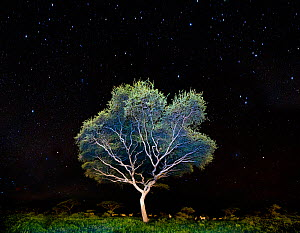 Acacia sp. at night, with a herd of Plains Zebra (Equus quagga) beneath. Near Ndutu, Nogorongoro Conservation Area, Serengeti National Park, Tanzania.  -  Nick Garbutt