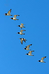 Flock of Oystercatchers (Haematopus ostralegus) flying in formation. Breton Marsh, French Atlantic Coast, August. - Loic Poidevin